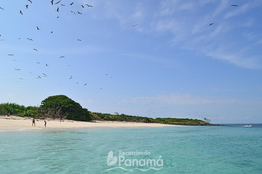 Aves Fragata en Isla Iguana.