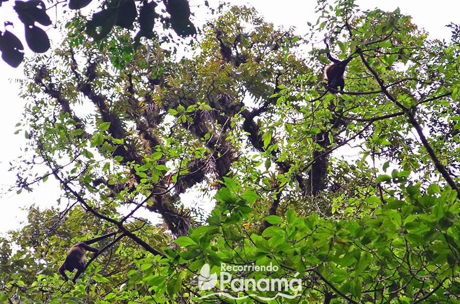 Monos en el sendero hacia la Cascada Escondida.