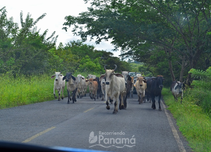 Vacas en el camino.