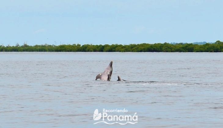 Delfines jugando en Bocas del Toro