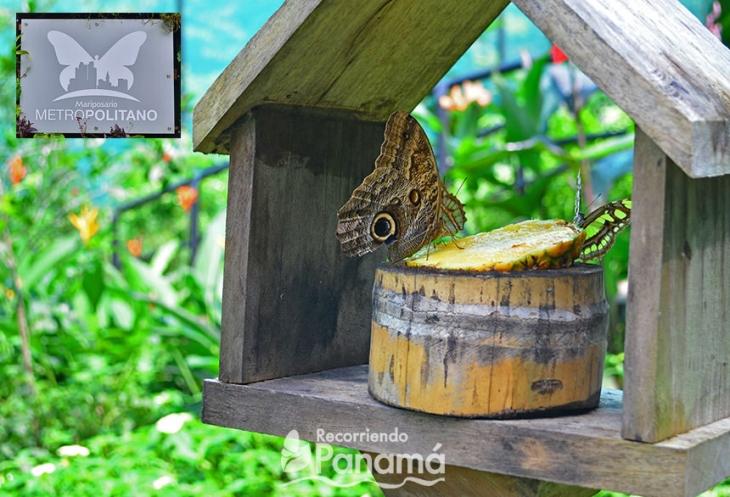 Mariposa Búho saboreando la piña.