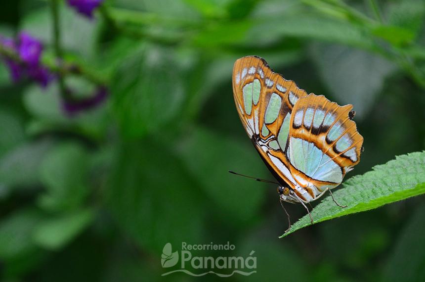 Mariposa Malaquita.