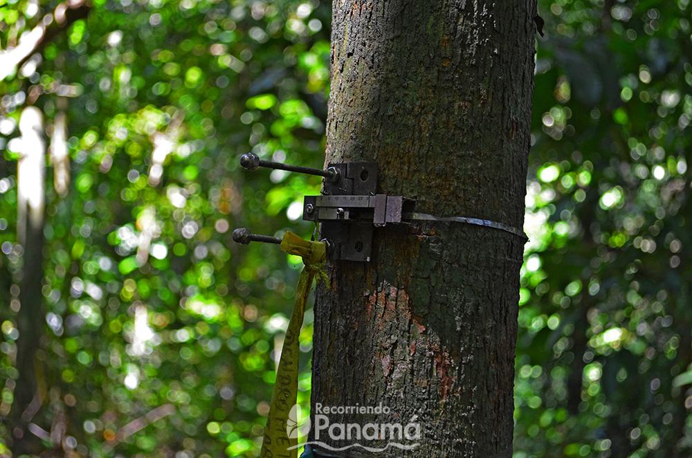 Medición del árbol.