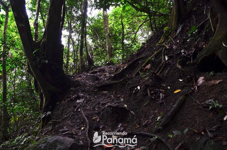 En algunas partes del sendero, las raíces de los árboles van haciendo unas escaleras que nos ayudan a subir.