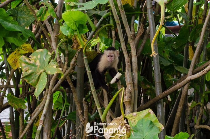 Mono Cariblanco comiendo un guineo que le dio un turista. No hagan eso
