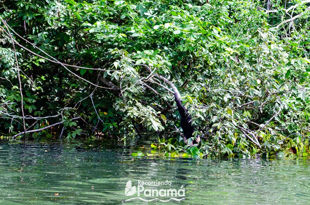 Mono Cariblanco baja a tomar agua.