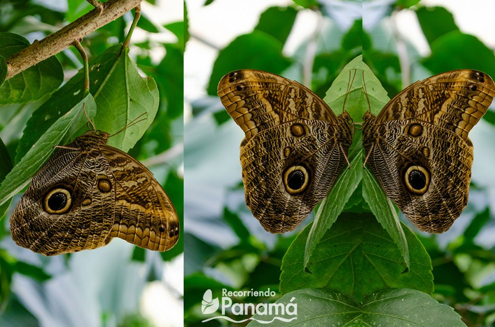 Mariposa Caligo Ojo de Búho.