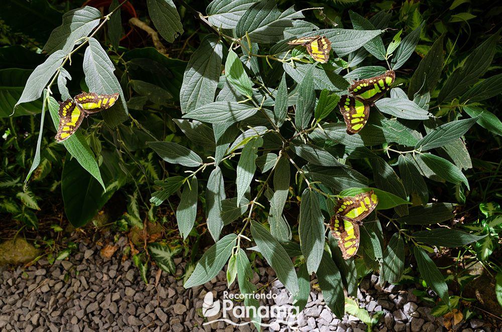 Mariposa Malaquita, su nombre se debe a su color parecido con la piedra Malequita.