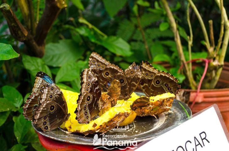 mariposa-comiendo
