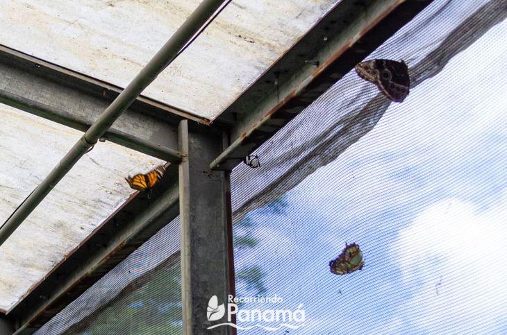 En el centro la Mariposa Alas de Cristal, le gusta salir cuando hace menos calor, o sea un poco de frío.