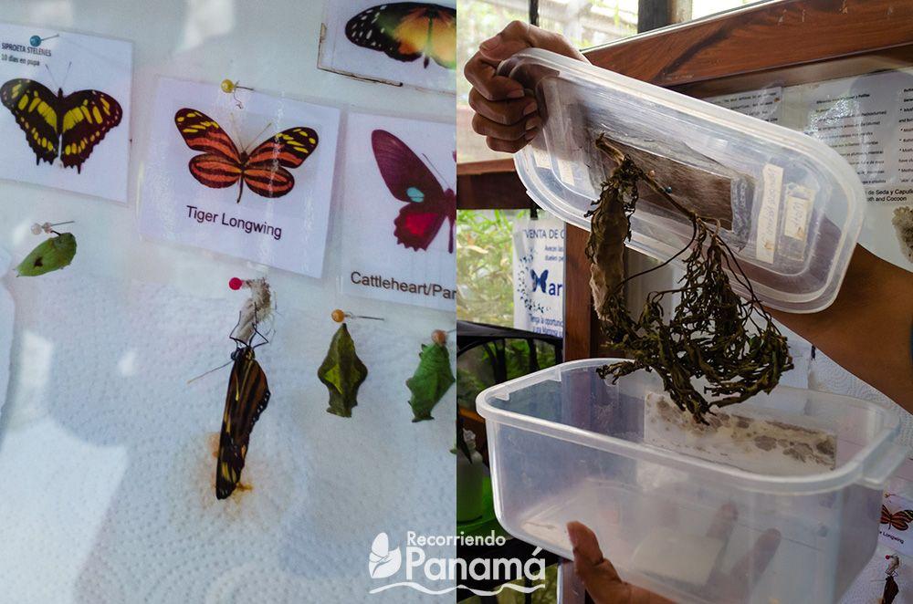 Izquierda: las crisálidas con la foto de la mariposa a la que pertenecen y la mariposa Tigre alas largas recién salida de la crisálida. Derecha, crisálida de polilla.