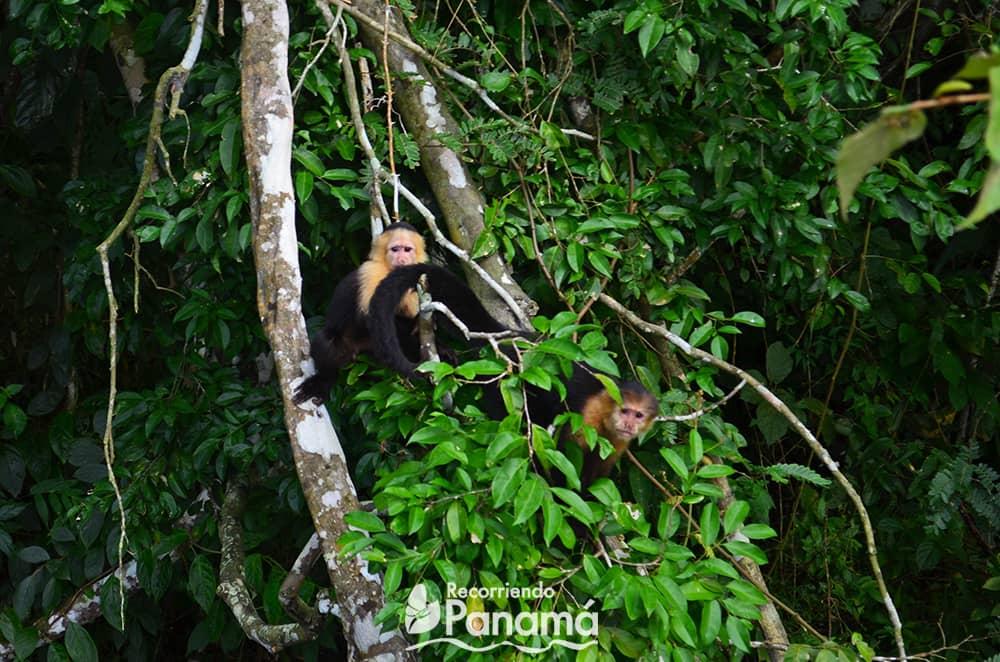 Monos Cariblanco.